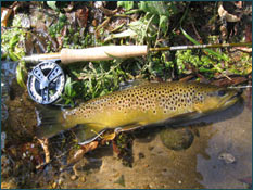 fly fishing rod with brown trout caught