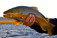 calendar/brown_trout_madison.jpg