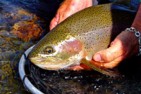 calendar/rainbow_trout_madison.jpg